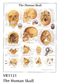 anatomska karta ljudska lobanja