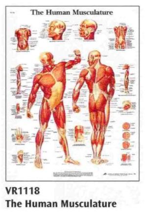 anatomska karta - mišići