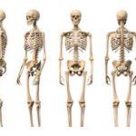 skelet čoveka, oprema za biologiju